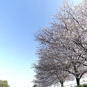"""越戸川の""""ひとり""""桜祭り"""