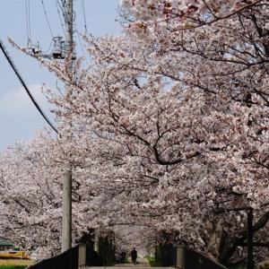 畑仕事、桜そしてまた桜
