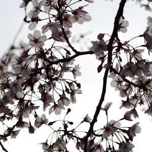 和光での今年最後の桜。たぶん、、