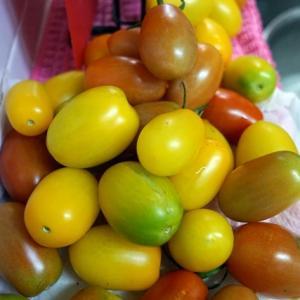 雨にも負けず、トマトは育つ!