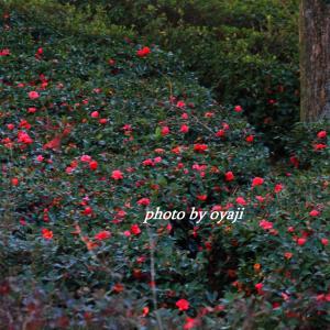 山茶花の森