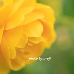 イングリッシュガーデンのバラ 黄色