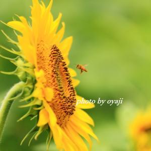 ヒマワリに蜂