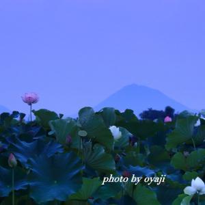 夜明け前の蓮田