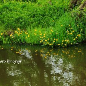 琵琶湖岸のキショウブ