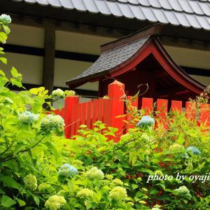 西光寺の紫陽花