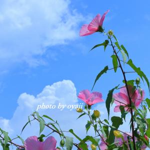 夏雲とアメリカ芙蓉