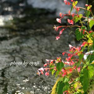 川べりの花