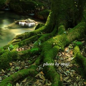 渓流に根を張る