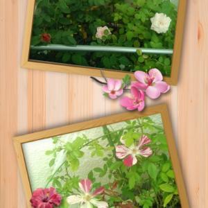 ベランダで栽培ミニバラ成長日記☆