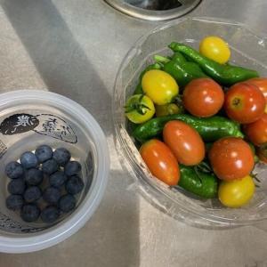 本日の収穫+ブールーベリーとローズマリーは良い感じ♪