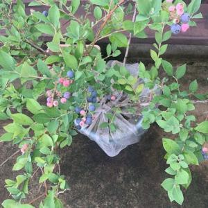ブルーベリー裂果><;+サツマイモは変わらず。