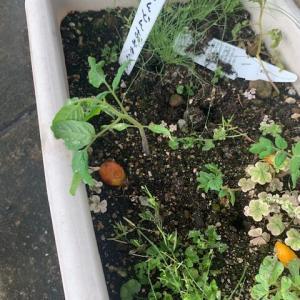 ミニトマトの芽が!+バジル切り戻し。