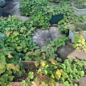 サツマイモ収穫しました。