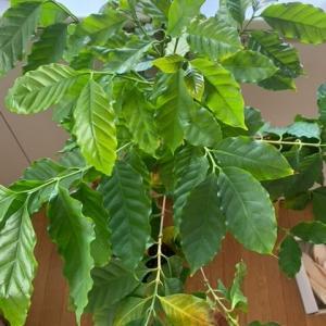 忘れた頃にコーヒーの木