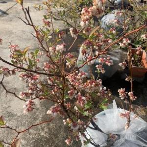 ブルーベリーの花が咲いてます。