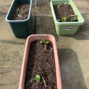 今年もさつまいも植えました。+ビオラ切り戻し。その後。