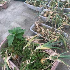 玉ねぎ収穫しました。