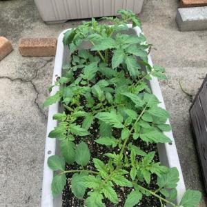 トマトとバジル植え替えます!