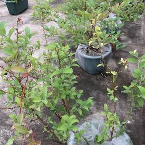 ブルーベリー初収穫