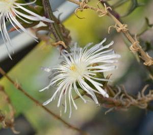 Drosanthemum marinum  ドロサンテマム マリナム