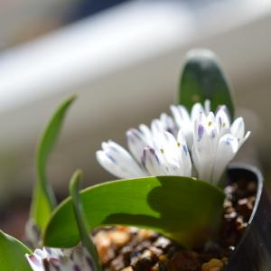 Polyxena ensifolia Vanrhynspas ポリキセナ エンシフォリア