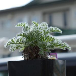 Pelargonium appendiculatum ペラルゴニウム アッペンディクラツム