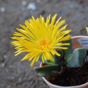 Pleiospilos compactus ssp. canus Tuinskloo 1818.3