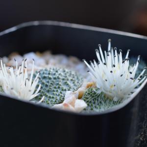 Massonia pygmaea  マッソニア ピグマエア SE Leliefontein