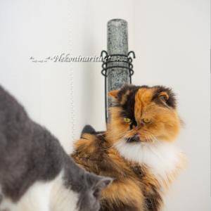 高い所に登れない猫