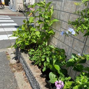 ☆紫陽花の花切り☆
