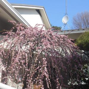 ご近所のお宅の見事な枝垂れ梅