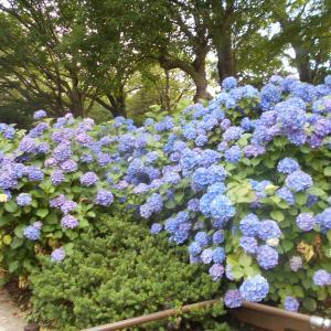 多摩川台公園の紫陽花が見頃を迎えた