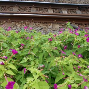 線路際に咲くおしろい花