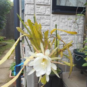 今年も孔雀サボテンの花が咲いた