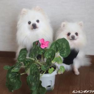 初咲き シクラメン~♪