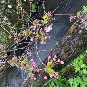 八重桜が咲いてきました(*^-^*)
