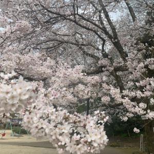 亀山公園の桜、見ごろです