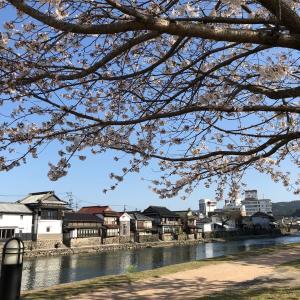 亀山公園の桜、満開です