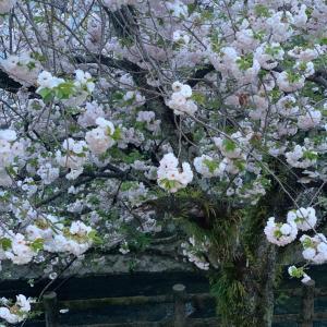 八重桜見ごろです♪