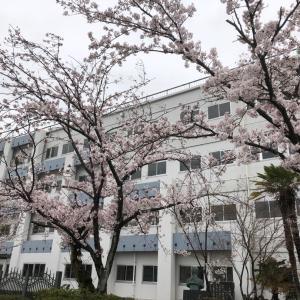 桜に癒され