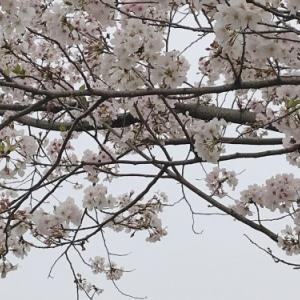 桜が満開になりました。