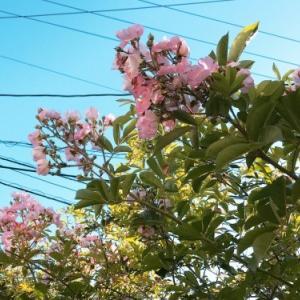 ツクシイバラが咲きました。