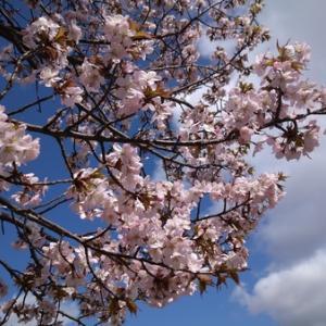 抱っこして桜を見に行こう!