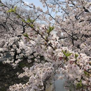 桜満開🌸コロナ😷ですが‥