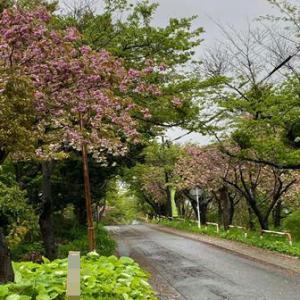 残り桜………(ノ⌒∇)ノ*:・'゜☆。.:*:・'゜★゜'・:*:.。.:*:・'゜:♪