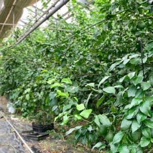 西浜農園の青レモン