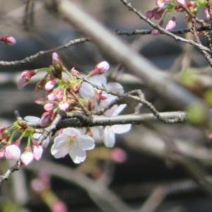 春分の日🌸桜開花宣言