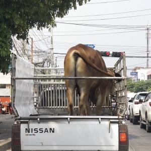 牛が前の軽トラックに載っていました。