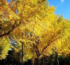 横浜 山下公園通りのイチョウ キレイな黄葉もところどころに 2019-11-20